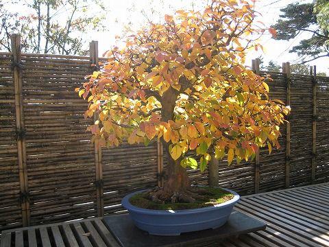 樹齢約70年
