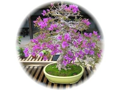 ブーゲンビリア 樹齢20年