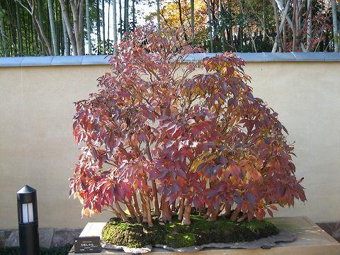 樹齢約40年