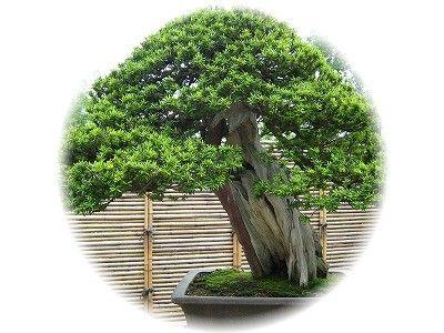 一位 樹齢150年