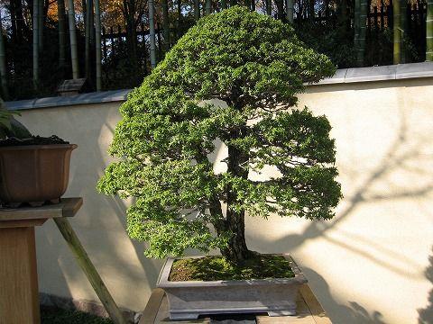 樹齢約80年