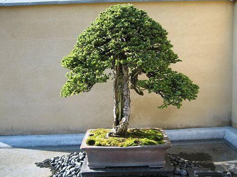 樹齢約300年
