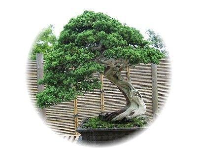 そなれ 樹齢150年