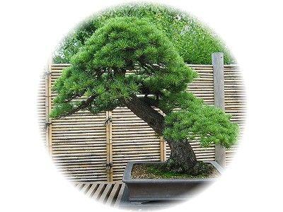 五葉松 樹齢120年