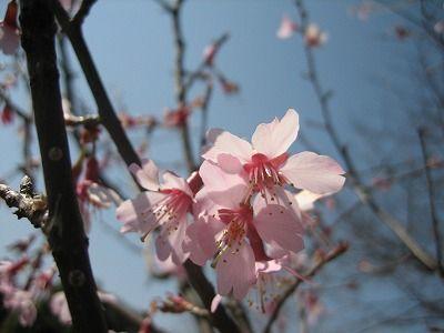オカメ桜・・・もう終り