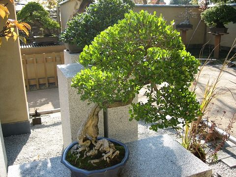 樹齢約50年