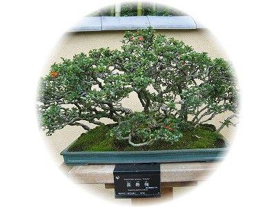 長寿梅 樹齢70年