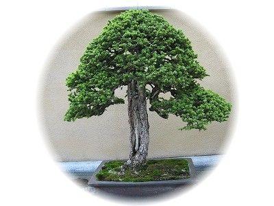 蝦夷松 樹齢300年