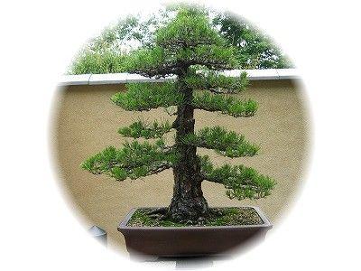 黒松 樹齢70年