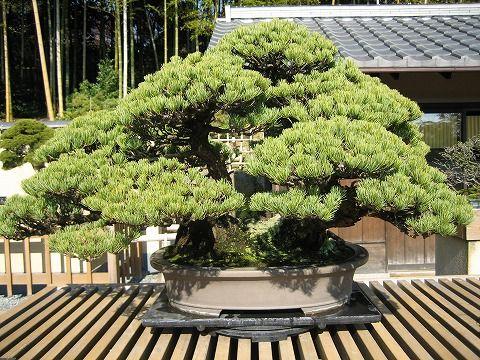 樹齢約120年