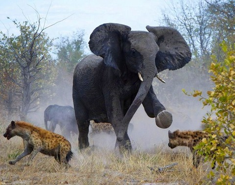 a2014-4-24elephant-attacks-hyenas