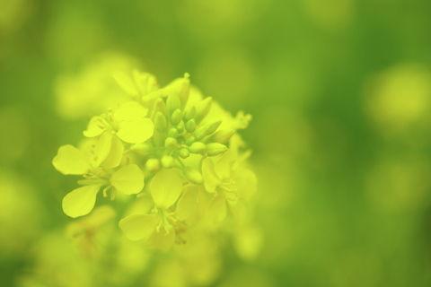 0001菜の花