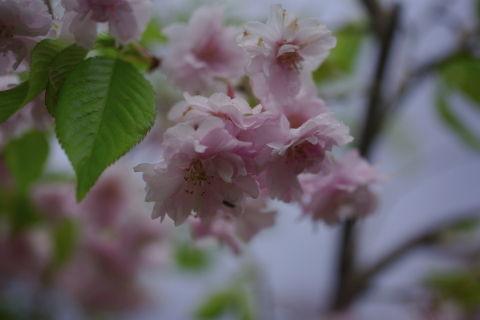 0008桜