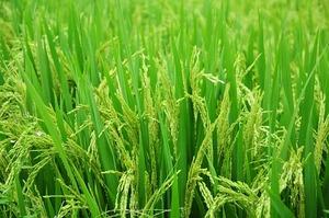 rice-1491868_640