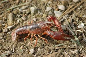 freshwater-crayfish-4494372_640