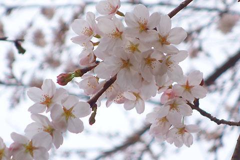 $尾山泰永の漫画生活-昼の桜