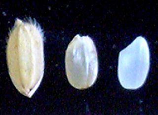 左から、籾(もみ)、玄米、白米