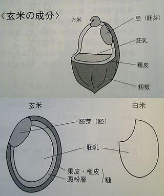 お米の構造図