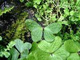 蝶の羽根の形をした植物