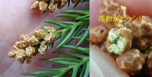 雄花の中には花粉がビッシリ詰っています
