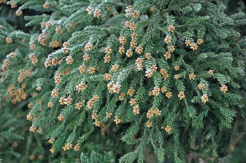 写真は家の近くの杉の雄花です