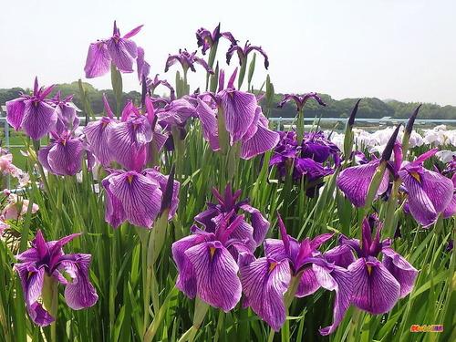 西山菖蒲園