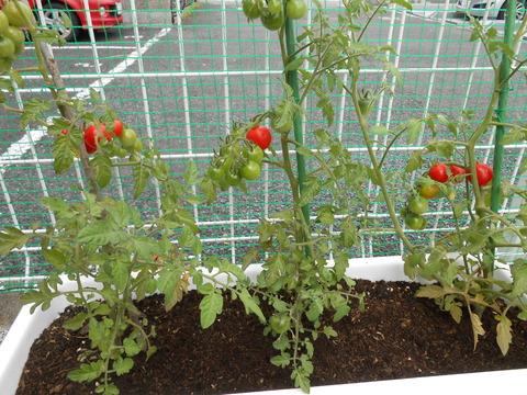 トマト全体