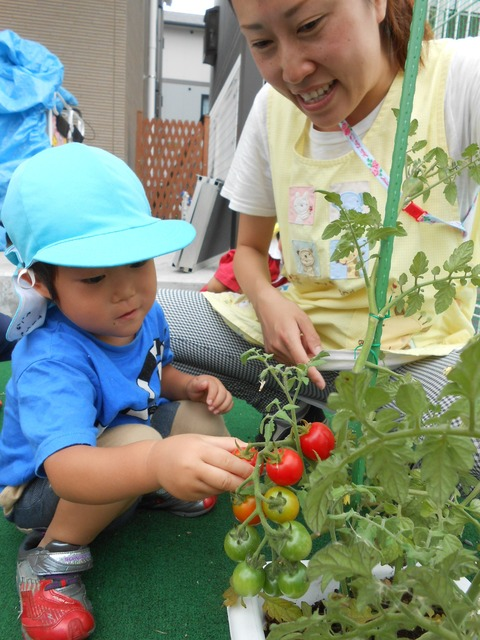 トマト収穫
