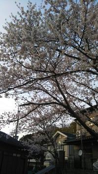 1555051198211桜