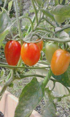 tomato ブログ用