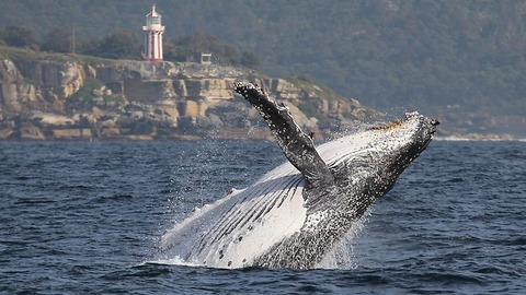 whales-in-sydney