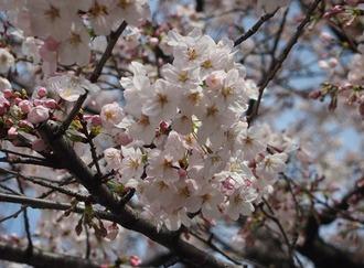 今年の桜2