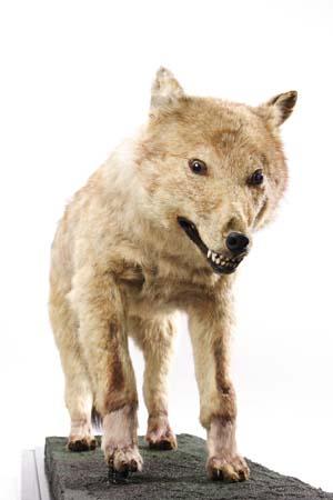 ニホンオオカミの画像 p1_32