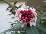 Winter daphne (4)