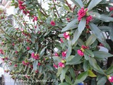 Winter daphne (2)
