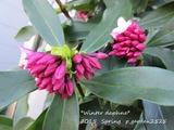 Winter daphne (6)
