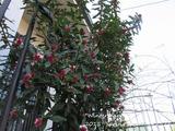 Winter daphne (3)
