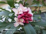 Winter daphne (5)