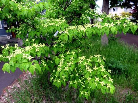 黄緑色のヤマボウシ