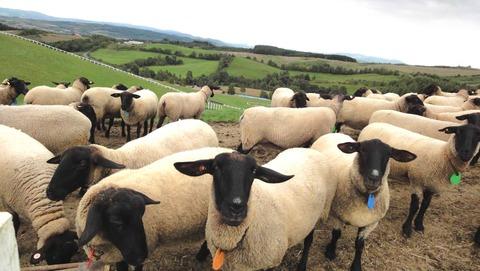 集まってきた羊たち(サフォ-ク種)