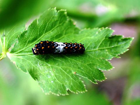 キアゲハ若齢幼虫