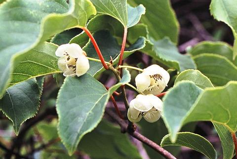 サルナシの両性花