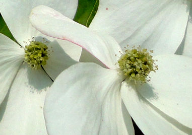 ヤマボウシの花(拡大)