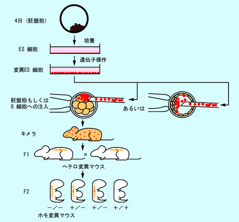 ノックアウトマウスの作成法