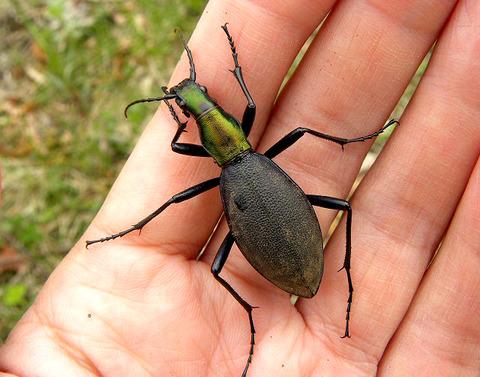 エゾマイマイカブリの成虫