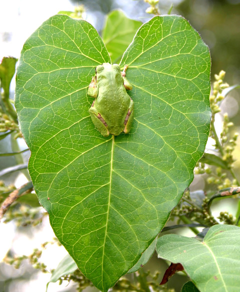 ガガイモの葉上のニホンアマガエル