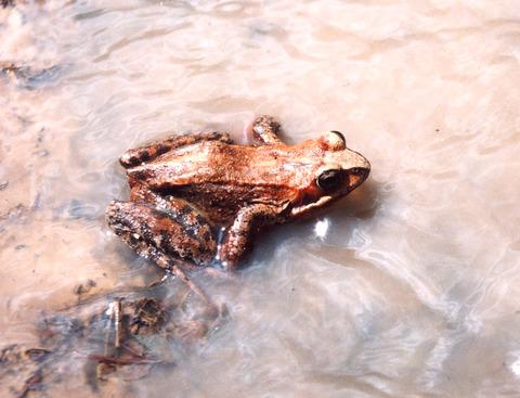 水辺で動けないエゾアカガエル