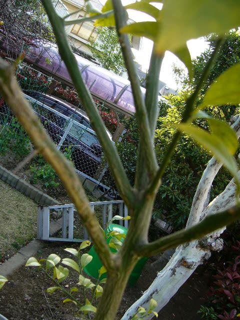 レモンはどういうわけか複数萌芽することが多い植物のようです。この写真のように一か所から枝が4本出ています。 こうなると枝が込み合ってしまいますので枝を 切って