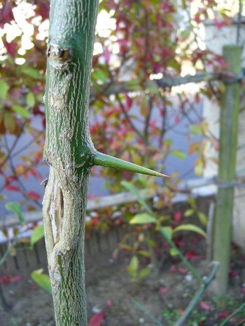 庭にあるリスボンレモンの木のとげです。 リスボンは我が家の立て直しの時に植えましたので今年で5年目になります。  樹高はすでに2メートル近くになり、昨年は8個ほど