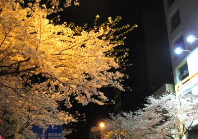 中野区の桜